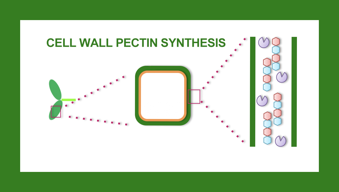 Cell wall pectin and plant terrestrialization